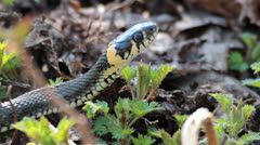 Grass Snake (Natrix Natrix) resting in the warmth Stock Footage