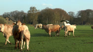 Beef cattle on meadow Stock Footage