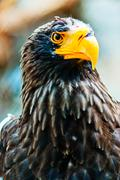 Portrait Steller (Pacific) Eagles in the Novosibirsk Zoo - stock photo
