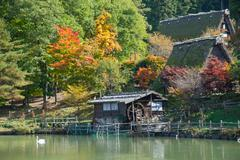 Stock Photo of color-full autumn tree in hida folk village takayama japan.tourist feed swan