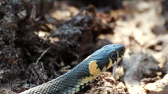 Grass Snake (Natrix Natrix) resting in the warmth - stock footage