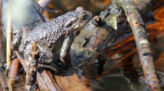 Common toad (Bufo bufo) in early spring Stock Footage