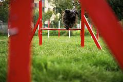 Pet running, agility race with dog jumping over hurdle Stock Photos