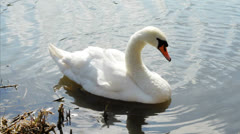 Swan cleaning in river with sunlight reflecting Stock Footage