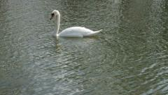 Swan passing over river Stock Footage