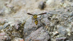 Stock Video Footage of A perfect wasp-mimic surphid fly (Syrphidae)  resting on stone