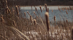 Pan Right Cattails To Water - stock footage