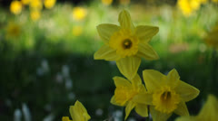 Daffodils Stock Footage