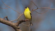 Stock Video Footage of American Goldfinch (Carduelis tristis) - Male 3