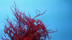 Red Coral Stock Footage