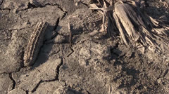 Farmland, drought withered corn Stock Footage
