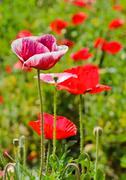 opium poppy flower - stock photo