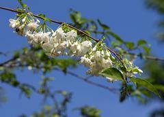 white flower on white background (wrightia religiosa benth. ) - stock photo