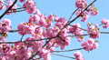 Japanese cherry (sakura) with pink flowers on the tree on blue sky Footage