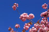 Tree with pink flowers Stock Photos