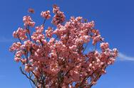 Stock Photo of tree with pink flowers