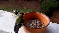 Many Tit birds (Latin: Parus major) at feeder - stock footage