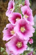 Pink hollyhocks flowers - stock photo