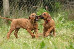 Rhodesian ridgeback puppies playing Stock Photos