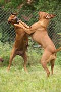 Rhodesian ridgeback bitches Stock Photos