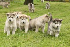 Group of alaskan malamute puppies Stock Photos