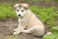 Alaskan malamute puppy Stock Photos