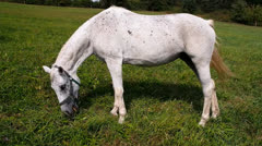 White horse grazing Stock Footage
