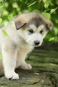 Alaskan malamute puppy under the twigs of birch Stock Photos