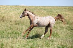 nice appaloosa mare running - stock photo