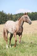 Portrait of nice appaloosa mare Stock Photos