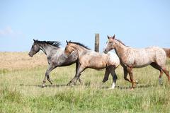 nice appaloosa horses running on pasturage - stock photo