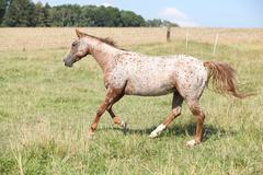 Nice appaloosa mare running Stock Photos