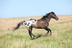 Nice appaloosa stallion running Stock Photos
