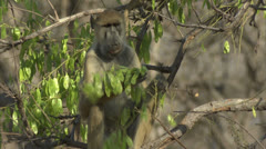 Adult Savanna Baboon in tree, eating, in Niassa Reserve, Mozambique. Stock Footage