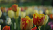 Beautiful colorful Tulip Field in a Parc Stock Footage