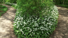Ramsons, Allium ursinum blooming along footpath + pan Stock Footage