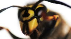 Wasp macro 02 Stock Footage