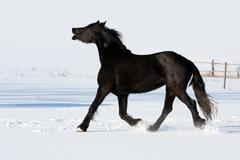 black horse run gallop in winter - stock photo