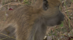 Adult Savanna Baboon with stuffed pouches in Niassa Reserve, Mozambique. Stock Footage