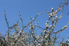 flourish cherry tree - stock photo