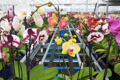 group of colorful orchidaceae in greenhouse - stock photo
