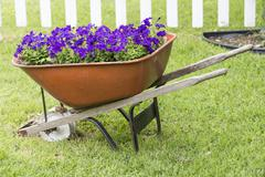 Purple Petunias in a wheel barrow Stock Photos