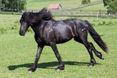 black horse runs gallop - stock photo