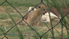 Capitve Bred Lion Cubs Stock Footage