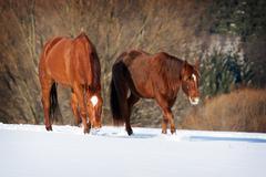 herd of horses - stock photo