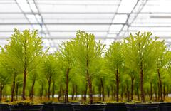 Closeup view of young conifers growing inside a greenhouse Stock Photos