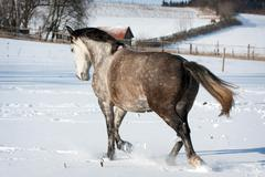 white horse runs gallop - stock photo