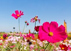 Pink cosmos flowers Stock Photos