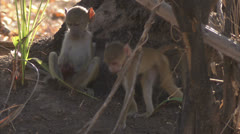 Infant Savanna Baboons foraging / eating Niassa Reserve, Mozambique. Stock Footage
