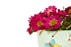 Blooming chrysanthemums in a pot Stock Photos